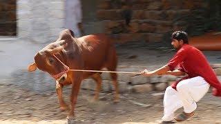 Download SCENE ON HAI | BAKRA EID 2019 | MANDI CHORO HALKE AUR MUNASIB JANWAR LO ! Video