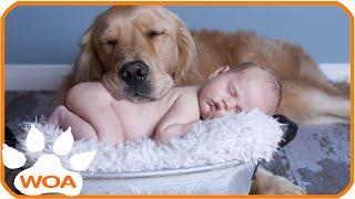 Download Baby & Golden retriever always best friend Babies need warm hugs from huge dog Video