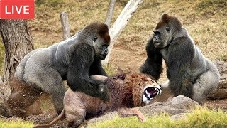 Download LIVE : Gorilla Attack Lion Save Team | Moments Of Animal Fight Battle - Wild Animal Planet 2018 Video