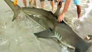 Download Monster Hammerhead Shark on the Beach Video