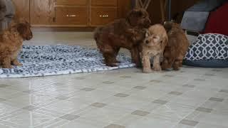 Download Mini Goldendoodle Puppies For Sale Sadie Herschberger Video