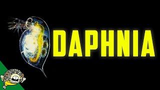Download Daphnia Culturing - Live Fish Food Magna / Pulex Breeding Daphnia, Daphnia Magna Culture, Video