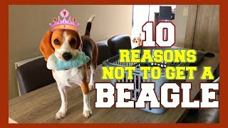 Download 10 Reasons why you should NOT get a BEAGLE! Funny Dogs Louie & Marie Video