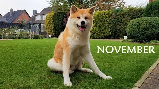 Download Akita Inu - November Story (秋田犬) Video