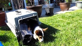 Download CORGI PUPPY EXPERIENCES THE WORLD - Life After College: Ep. 325 Video