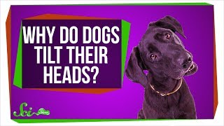 Download Why Do Dogs Tilt Their Heads? Video