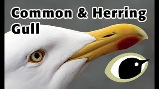 Download BTO Bird ID - Common & Herring Gull Video