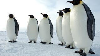 Download Penguins of the Antarctic - Nature Documentary Video