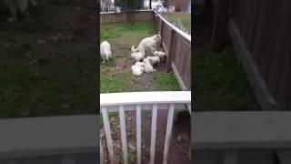 Download Shadymist English Cream Golden Puppies! Video
