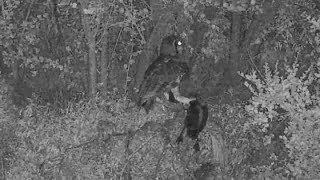 Download Djuma: Verreaux's Eagle Owl takes out White-faced Whistling Duck - 23:37 - 01/23/2020 Video