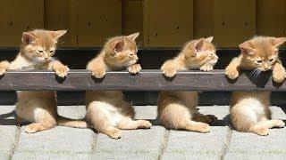 Download 「かわいい猫」 笑わないようにしようとしてください - 最も面白い猫の映画 #334 Video