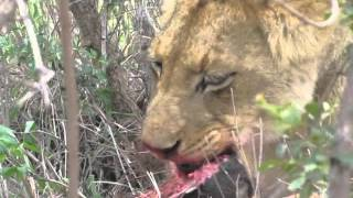 Download Lion eating a baby warthog Video