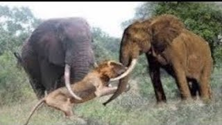 Download Elephant Chasing Lion vs Wild Dogs Video
