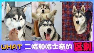 Download 宠物联萌   可爱狗狗🔴二哈和哈士奇的区别?来来来,我给你演示下~😊Funny and Cute Baby Dog Videos Compilation(2018-41) Video