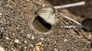 Download How a tarantula builds a trapdoor lid on its burrow Video