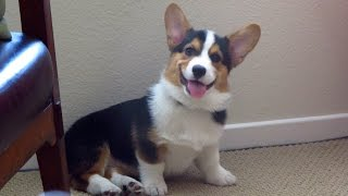 Download SMILING DOG - the Happiest Corgi Puppy Video