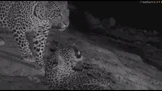 Download Safari Live : Interaction between Hosana and Thamba young male Leopards Sept 13, 2017 Video