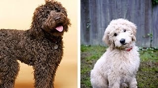 Download Labradoodle vs Goldendoodle Funny Videos - Similarities and Differences Video