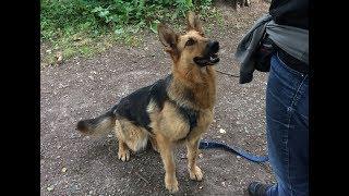 Download Tierheim Wau-Mau-Insel: Schäferhund-Mix sucht ein Zuhause Video