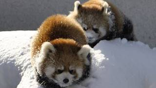 Download 雪で遊ぶレッサーパンダ〜Red Panda playing in the snow Video