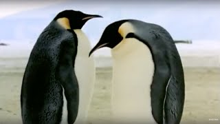 Download How an egg becomes a baby penguin - Animals: The Inside Story - BBC Video