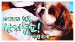 Download 아빠의행복~♡ [Shih Tzu , 시츄 ,로또] Video