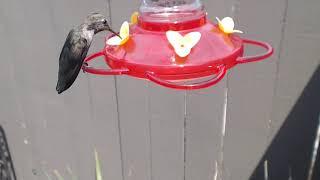 Download Bella Hummingbird Nest Cam 08-10-2018 13:47:45 - 14:47:45 Video