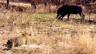 Download Biggest Leopard Hunt Fail Ever! - Latest Wildlife Sightings Video