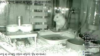 Download [모찌Live/햄스터] 실시간 햄스터 관찰 방송 Hamster Live #16-12-15 Video