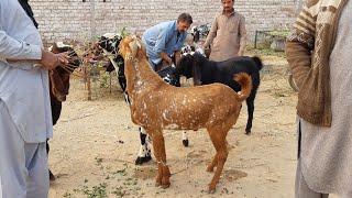Download LAHORE BAKRA MANDI BAHER KI SURAT E HAAL KUCH ZAIDA HI .... Video