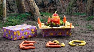 Download El pequeño gorila EBO celebra su 4 cumpleaños con su familia en BIOPARC Valencia Video