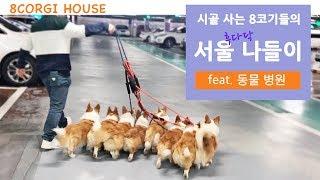 Download 시골 사는 8마리 웰시코기의 서울나들이 (feat. 동물병원) Video