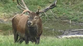 Download Steckbrief Natur Teil 07 Rotwild Video