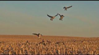 Download Goose Hunting Minnesota - October Corn Field Hunt Video