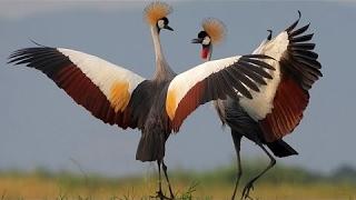 Download Dancing Birds - BBC Documentary Video