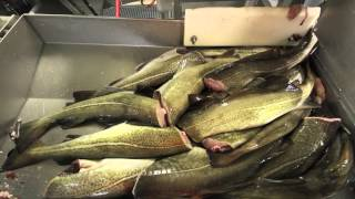 Download Ramoen Trawler - Catching & Producing Frozen At Sea Cod Video