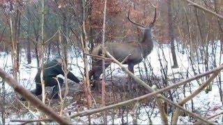 Download uwolnienie jelenia z wnyków Video