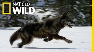 Download Hunting With the Dark Wolf | Wild Yellowstone Video