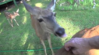 Download Heart Massage for Wild Deer in the Yard Video