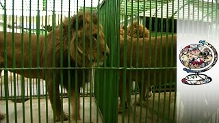 Download Exotic Animal Smuggling is a Problem in Africa & the Middle East Video