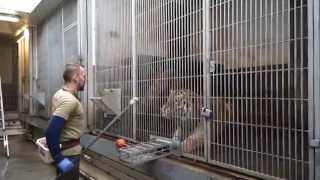 Download Tigertræning | Copenhagen Zoo Video