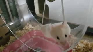 Download [모찌/골든햄스터] 챗바퀴 굴리는 햄스터 아크릴 챗바퀴 Video