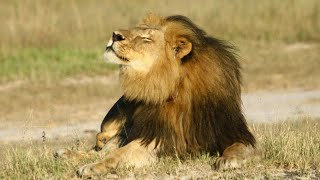 Download Hunter kills son of Cecil the lion Video