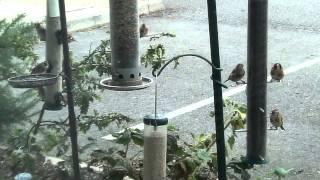 Download Birds flock to Bill Oddie's bird food Video