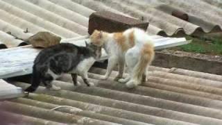 Download Combat de chat Chlef RADAR Zone 10 (ivan) violent * Cat Figth * Video