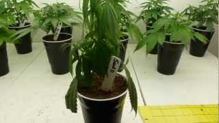 Download Under Watering and Over Watering Cannabis Video