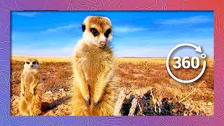Download Meerkat Mob Shares Maze with Mongoose (in 360 5K) Video