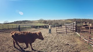 Download Weaning Calves Video