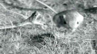 Download Kangaroo Rat Vs. Rattlesnake: Little Critter's 'Elastic' Advantage   Video Video