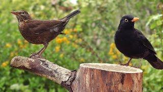Download Blackbirds in My Garden Video